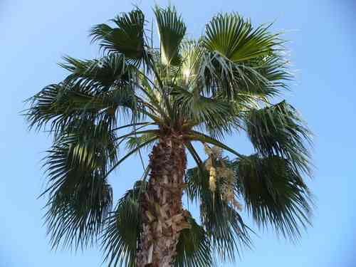 10 Samen Washingtonia robusta, Mexikanische Washington Palme